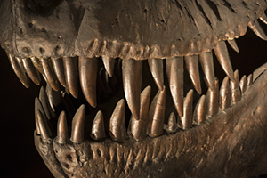 T-Rex teeth